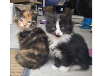 *SOLD* Two Long Haired Female Kittens For Sale