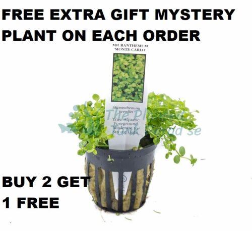 BUY 2 GET 1 FREE POTTED Micranthemum Monte Carlo Easy Carpet Live Aquarium Plant