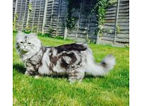 Missing persian cat