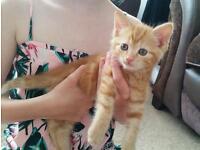 Beautiful ginger kittens - adorable temperaments