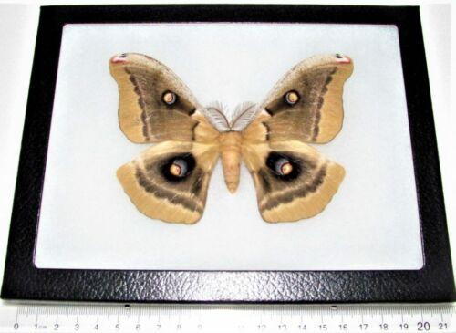 Antheraea oculea male saturn moth Arizona USA framed