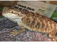 Female, 5month old, Bearded Dragon