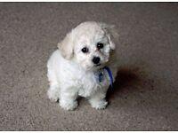 Bichon Frise puppies for sale!