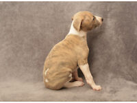 2 x Fawn/Blue Brindle male puppies