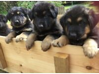 KC registered German Shepherd puppies