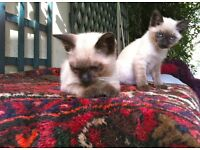Siamese Kitten looking for a new family