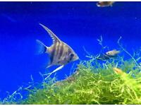 Angelfish for tropical aquarium / tank fish