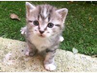 1 Adorable Female Grey Kitten Left!