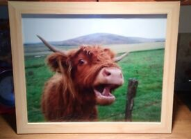 Huge, framed highland cow photo.