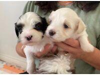 Gorgeous Havanese puppies, KC reg'd parents