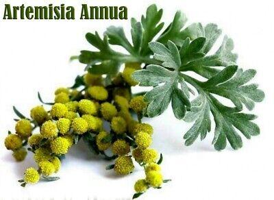 Artemisia annua 250 seeds - 0.05 gr - L'armoise annuelle, sweet annie
