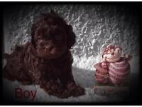 VIEWINGS TO SUIT solid chocolate pooshi pups shihpoo , poodle , shih tzu ,,poodle cross x shih tzu