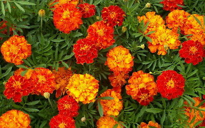 250 Sparky Mix French Marigold Seeds Tagetes Patula Flower w/ Gift