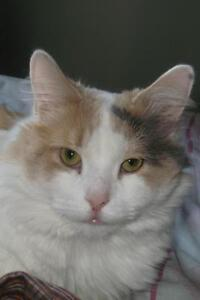 "Adult Female Cat - Domestic Long Hair: ""Coquette"""