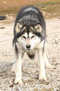 """Senior Male Dog - Eskimo Dog-Husky: """"Timber and Cooper"""""""