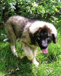 7/8 Caucasian shepherd - 1/8 Great Pyrenees (LGD)