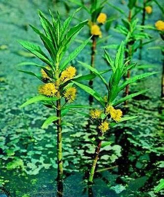 Miniteich 10 Pflanzen Jetzt Kaufen im Frühjahr ab April wird geliefert.