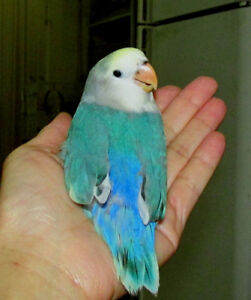 SUPER TAME handfed baby lovebird (whiteface blue )