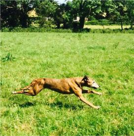 Whippet x collie bull greyhound