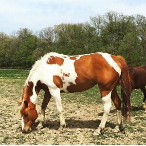 2005 reg. PAINT HORSE MARE