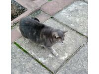 FREE tabby cat for a loving home