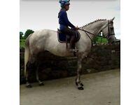 Dapple grey Irish Sports Horse gelding 16.1h 6yo