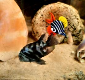 Polar blue parrot cichlids,pink convicts,Ob malawis,Oreochromis shiran