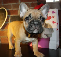 Frenchie Bulldog