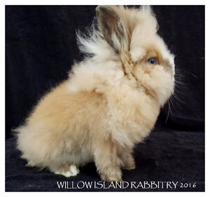 4 Month Old Male Dwarf Lionhead Bunny Rabbit
