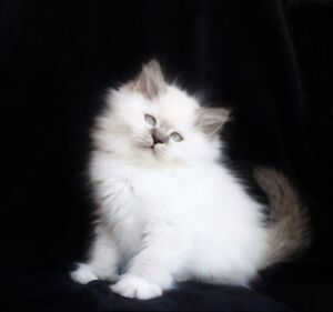 Fluffy Lilac point Ragdoll kittens