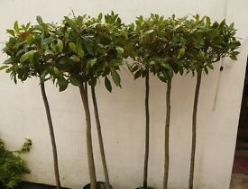 5ft Bay trees in pots mega cheap ! see images £18 each