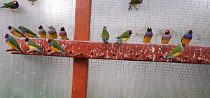 Gouldian Finches Turramurra Ku-ring-gai Area Preview