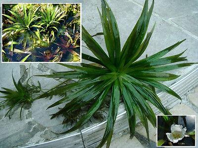 3 Teichaloen Stratiotes Aloides / Wasseraolen Krebsscheren Wasserpflanzen Teich