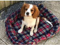 Gorgeous Cavalier King Charles Boy - 8 Months