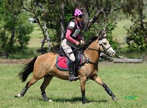 Loots Image Brood Mare, TB ride/breed , buckskin pony FOALS North Maclean Logan Area Preview