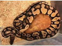 Sub adult male pastel royal python