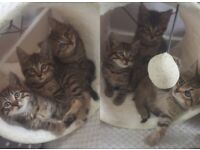 Gorgeous tabby kittens 1 boy available