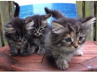 3 Gorgeous fluffy Tabby Kittens one female and two male