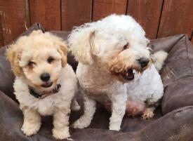 Cavachon puppys