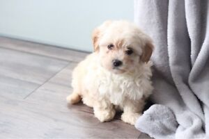 8 week old TOY poodle cross Toy poodle/Pomeranian FULL DNA CLEARED
