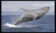 Whale watching cruise for 2 people Pyrmont Inner Sydney Preview