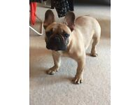 Stunning KC reg French Bulldog boy