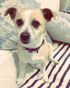 Chihuahua X Fox 'Blanchie' - Hunter Animal Rescue Cessnock Cessnock Area Preview