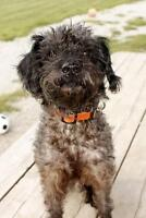 "Adult Male Dog - Poodle: ""Randall"""