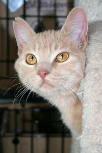 """Young Male Cat - Domestic Short Hair-orange: """"Toulouse"""""""