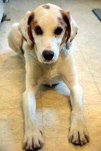 "Adult Male Dog - Coonhound: ""Jackson"""