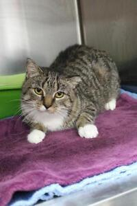 "Adult Female Cat - Domestic Short Hair-Tabby: ""Mary"""