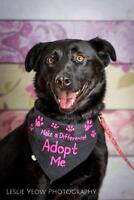 Adult Female  - Black Labrador Retriever-German Shepherd Dog
