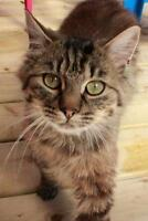 Young Female  - Tabby - Grey-Tabby - Brown