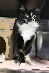 """Adult Female Cat - Domestic Long Hair: """"Jazzy"""""""